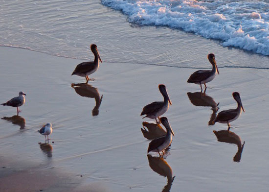 Pelicans and sandpipers on the beach