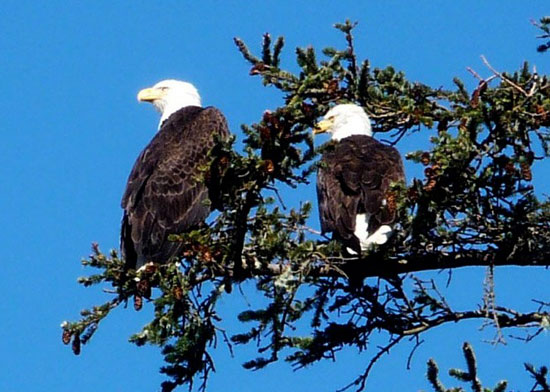eagles in tree